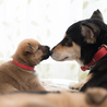 黒柴系ミックス。元野犬の穏やかな母犬「詩音」 サムネイル7