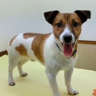 ☆424 10ヶ月ジャックラッセル子犬
