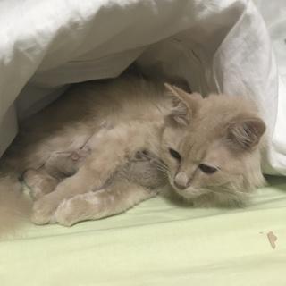 長毛のベージュ色猫です。