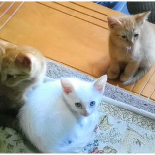 生後2ヶ月くらいの茶トラと白猫兄弟