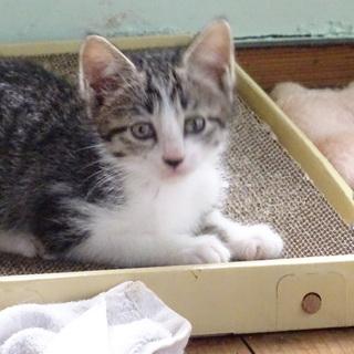 子猫 2月 キジ白 メス