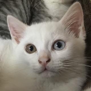 オッドアイの白猫美男子君!生後2カ月