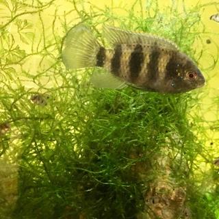 熱帯魚トーマシーの稚魚