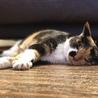 寝顔がとっても可愛いスリゴロ三毛猫ちゃんです! サムネイル4