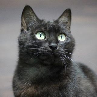 福島被災猫ブラックスモークのクローネ