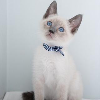 シャム風子猫 マリオット君 里親様募集中