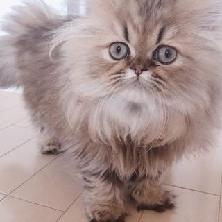 可愛い猫くん。里親さん募集!