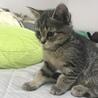 母猫 スコティッシュ 三ヶ月子猫、