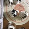 ラスト子犬5兄弟写真