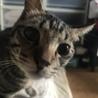 急募、里親さん。人懐こい猫懐こい成猫です。