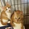 オチくんのお姉ちゃんかも❤美猫なっちゃん❤茶トラ♀ サムネイル6