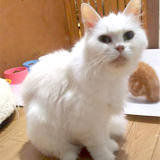 フサフサ美猫のアナベルちゃん