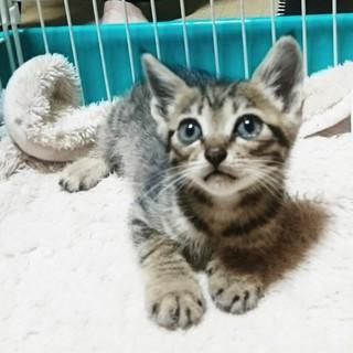 かわいいキジトラ!ひのきくん!