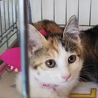 綺麗な三毛柄日本猫のすみれちゃん