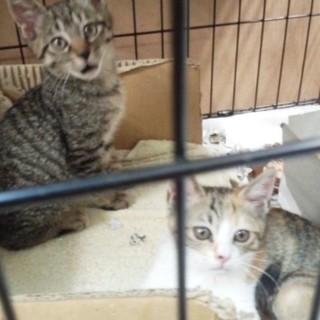 可愛い盛りキジトラ+三毛猫兄妹 1kg。