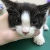 ワクチン接種、ウイルス検査済みの子猫2匹です