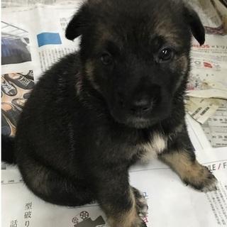 ころころ可愛い子犬7匹兄弟1か月