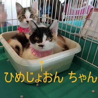 スタンダード系三毛の子猫さん 里親様募集中