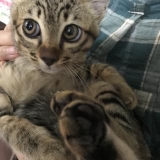 募集停止 困り顔まん丸お目めのキジ子猫 超甘えん坊