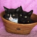 黒猫あらた君と八割れホノカちゃんの仲良し兄妹♬