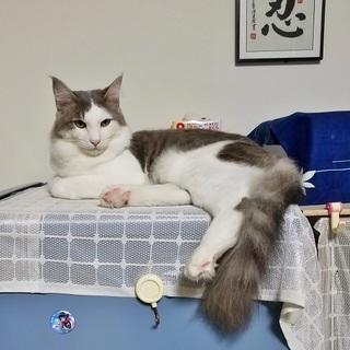 ノルウエー・ジャンフォレスト系の猫です。