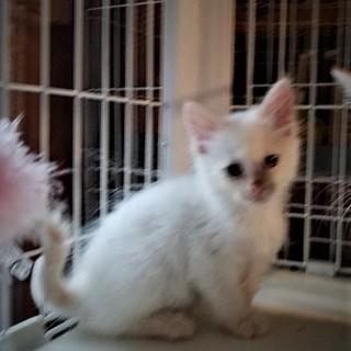 きれいな白猫 ♪ ミント君 2ヵ月半