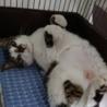元飼い猫さくらちゃん女の子 サムネイル2