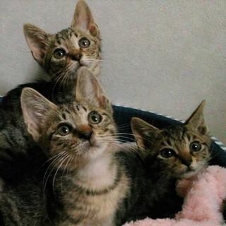 そっくり!抱っこ好きなかわいいキジトラ3兄妹
