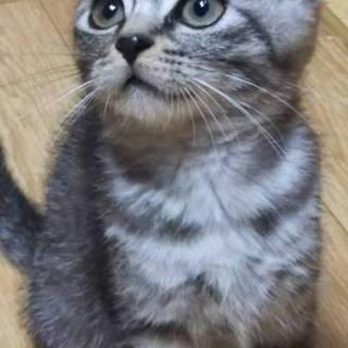 耳折れ猫 エルメスくん