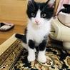 白黒ハチワレ子猫4兄妹「イケメンくん」♡