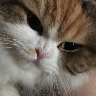 スコティッシュ 耳折れ 成猫 メス