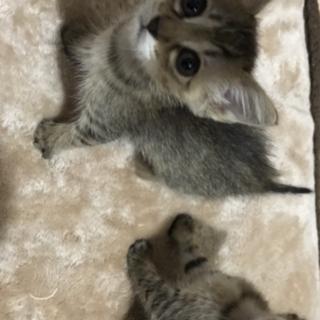 姉妹の子猫の里親募集