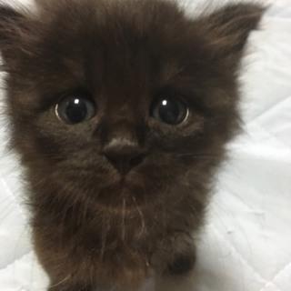 可愛いフサフサ黒猫生後25日
