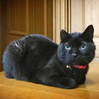 [御蔵島 森ネコ] お姉さん的存在の黒猫 キキ♀