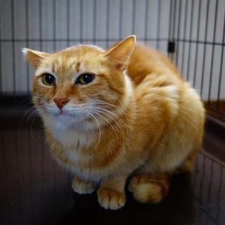 [御蔵島 森ネコ] 小柄な美男子の茶白 みたらし♂