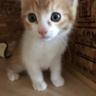 茶白の子猫★アニキ
