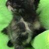 キレイなサビ柄♪ おっとり子猫ジェシカちゃん サムネイル2
