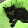 ふわふわ柔らかな黒猫オルビ君 サムネイル3