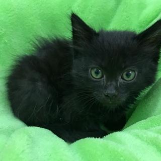 ふわふわ柔らかな黒猫オルビ君