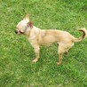 チワワ(スムース) 2才9ヶ月の男の子 サムネイル2