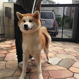 秋田犬の子犬 赤毛の男の子