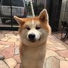 秋田犬の子犬 赤毛の男の子 サムネイル3