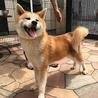 秋田犬の子犬 赤毛の男の子 サムネイル4