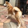 秋田犬の子犬 赤毛の男の子 サムネイル5