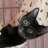 2ヶ月半【7/15東銀座猫の譲渡会】ジュジュちゃん