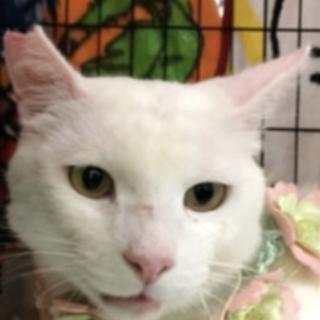 丸顔で大きな瞳のイケメン白猫くんです!