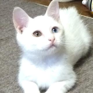 里親決定しました。 真っ白な3カ月の可愛い男の子☆