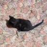 ちっちゃい黒猫の男の子、チコくん2ヶ月半 サムネイル3