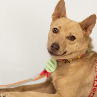 クリーム色琉球犬MIXしらたまメリー 3歳ツンデレ