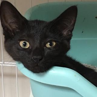 真っ黒テカテカな、やさしい細身のクロ子猫 3か月